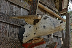 INDONESIEN; SULAWESI, Tanah Toraja , in Lemo, Giebelschmuck an einem  historischen  tongkonan , die Büffel und Schnitzereien  symbolisieren den Wohlstand der Familie,  17627/10636 (roba66-on vacation) Tags: sulawesi urlaub reisen travel explore voyages rundreise visit tourism roba66 asien asia indonesien indonesia insel celebes island île insulaire isla toraja tanahtoraja volk brauchtum tradition bauwerke «torayavillage» tongkonan «ricestore» reisspeicheralang ahnenkult mythen bauwerk architektur architecture arquitetura building bau façade platz places historie history historic historical geschichte skulptursculpture relief urban giebel holzschnitzerei
