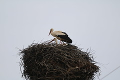 Nesting Storks in Gemerska Panica (uksean13) Tags: stork gemerskapanica slovakia bird nature nest canon 760d