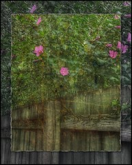 Rose of Sharon.... (Sherrianne100) Tags: backyard fence roseofsharon flowers