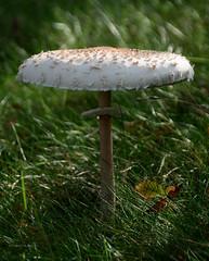 Parasol mushroom (pix-spotting) Tags: fungus autumn forest woods nature growth mushroom parasolmushroom macrolepiotaprocera ukonsieni edible