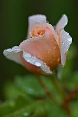 Rose after a shower (pstenzel71) Tags: blumen natur pflanzen rose rosa darktable flower bokeh raindrops