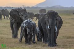 20180805IMG_7424.jpg (jmcenern) Tags: africa elephant amboselinationalpark kenya