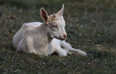 Slowed Down (AnyMotion) Tags: goatkid ziegenkitz capraaegagrushircus tier animals tiere 2018 anymotion nature natur germany wildfreigehegewildenburg hunsrückhochwaldnationalpark hunsrück rhinelandpalatinate rheinlandpfalz deutschland travel reisen 6d canoneos6d