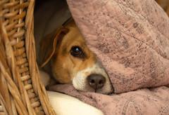 6M7A3577 (hallbæck) Tags: dog hund afslapning relaxation entspannung avkoppling relajación relaxamento rilassamento отдых リラクゼーション 鬆弛 dansksvenskgårdhund danishswedishfarmdog pippi pet animalphotography denmark