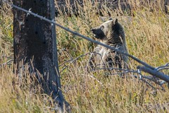 Sit up and take notice (ChicagoBob46) Tags: grizzlybear grizzly grizz bear yellowstone yellowstonenationalpark nature wildlife naturethroughthelens coth5 ngc npc