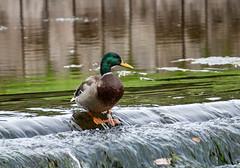 DSC_1812.jpg (dan.bailey1000) Tags: cork ireland duck mallard wildlife donerailepark bird