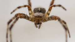 Dangle (Kevin Tataryn) Tags: spider arachnid orbweaver hairy legs eyes close scary nikon d500 tokina 100mm