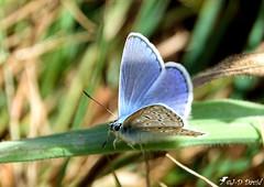 Azuré bleu céleste_08 (Jean-Daniel David) Tags: insecte insectevolant papillon azuré azurébleucéleste bleu vert bokeh herbe pelouse grosplan closeup macro cossonay suisse suisseromande vaud