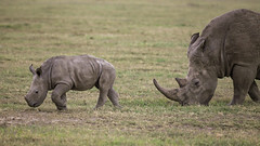 World Rhino Day - 22 September 2018 (AnyMotion) Tags: worldrhinoday whiterhinoceros squarelippedrhinoceros rhino breitmaulnashorn ceratotheriumsimum mother calf mutter kind animal animals tiere nature natur wildlife 2011 olpejetaconservancy sweetwatersgamereserve kenya kenia africa afrika anymotion reisen travel 5d2 canoneos5dmarkii