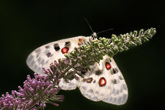 Parnassius apollo (Prilla 4.0) Tags: parnassiusapollo farfalla butterfly white bianco insetto insect animal animale fauna nature macro canonpowershotsx540hs