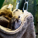 Sleeping otter of Enoshima Aquarium, Fujisawa : 眠るカワウソ(新江ノ島水族館)