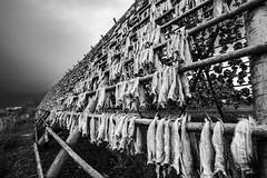 Stockfish (Peter Fuchs) Tags: lofoten islands norway norwegen norge 2018 vacation sony a7riii alpha fullframe 24240mm svolvær stockfish