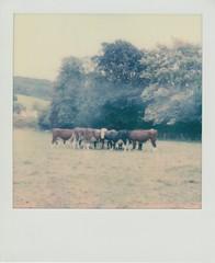 Devon Cows (ifleming) Tags: sx70600 gen3 600colourfilm impossibleproject devon sidmouth cows devoncows