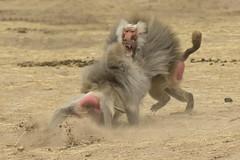 Mantelbaviaan - Safaripark Beekse Bergen - Hilvarenbeek (Jan de Neijs Photography) Tags: dierentuin zoo tamron tamron150600 150600 dierenpark nl holland thenetherlands dieniederlande diergaarde g2 animal dier beeksebergen safaripark safariparkbeeksebergen hilvarenbeek aap ape noordbrabant sbb mantelbaviaan baviaan baboon papiohamadryas tamron150600g2 monkey fight fighting