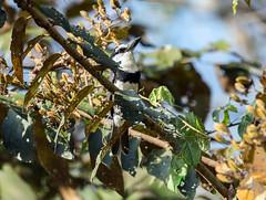 IMG_0230 White-necked Puffbird (suebmtl) Tags: bird birding soberanianationalpark panama whiteneckedpuffbird notharchushyperrhynchus