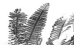 Felce (gianclaudio.curia) Tags: bianconero blackwhite nikon d5200 tamron70300 vegetazione piante