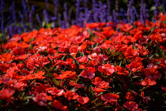 Flowertops (Eric Tischler) Tags: flowers bunch red purple many