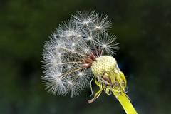 V064_MPC 3126 (Paulo Villa) Tags: seed closeup nature dandelion