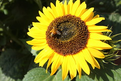 The Sunflower and the Bee (charliejb) Tags: 2018 wildplace flower sunflower bee insect yellow sun bristol