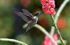 Hummingbird in flight (adirondack_native) Tags: ruby throated male flying red
