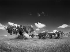 Olive Trees (Thunderbird61) Tags: olivetrees sicily italy sicilia italia olivenbäume landschaft landscape landgebied trees clouds mono monochrome pentax pentaxart schwarzweis blackwhite bnw bw sw noirblanc nb neroblanco nigeralbus na zw zwartwit mediumformat nature