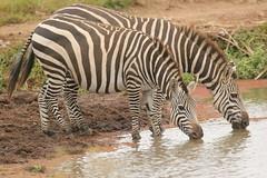Up close (Nagarjun) Tags: zebra blackandwhite plainszebra equusburchellii nairobinationalpark kenya animal wildlife fauna safari gamedrive lake waterbody