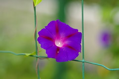 Trapped beauty (Baubec Izzet) Tags: baubecizzet pentax bokeh flower nature summer