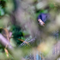 Behind the Foreground (MrPebbleDot) Tags: male house sparrow sony a7ii nikon nikkor 300mm f45 edif ifed ed adapted