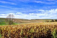 Le solitaire (BelSoq) Tags: culture paysage landscape arbre nature campagne rural meuse lorraine colline vallonné
