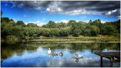 Preening (andystones64) Tags: swans preening pond silicapond water trees foilage reflection nature naturephotography sky clouds weatherwatch weather scunthorpe lincolnshire northlincs northlincolnshire nlincs image imageof imagecapture