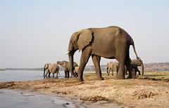Chobe Riverfront Elephants (mstoecklin) Tags: chobe riverfront elephants