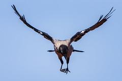 Jump (tom22_allgaeu) Tags: nebelkrähe bird vogel black blue natur nature naturephotography wildlife nikon sigma d7200 fogcrow