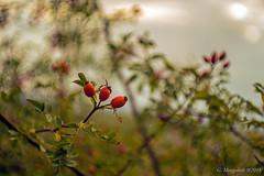 Trio (günter mengedoth) Tags: carlzeissjenaflektogon65mmf28 carl zeiss jena flektogon 65 mm f 28 pentax pentaxk1 manuell vintagelens historisch hagebutten wildgehölz rose dornen frucht