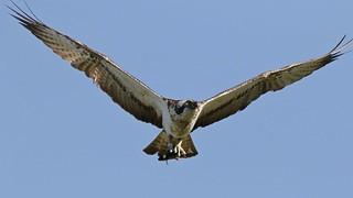 Osprey !!