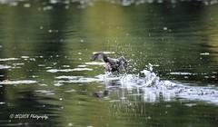 Fuyez ! (leguen.maxime) Tags: petit grèbe eau loire loiret 2018 olivet promenade nature oiseau animal