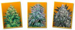 Feminized-Mix1 (Watcher1999) Tags: feminized seeds marijuana cannabis sativa indica strain weed thc cbd strains medical california jamaica growing bob marley weeds smoking