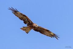 Black Kite (Asa-Photography) Tags: bord nikon nature naturephotgraphy nikond850 wildlife wild wildlifephotography nikkor 200500mm