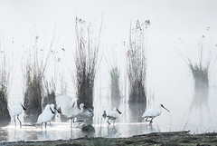 Misty Myall (Wanda Amos@Old Bar) Tags: wandaamos birds landsacpe minimalism minimalist mist morning spoonbills sunrise