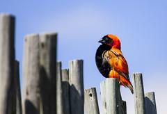 Proudly ORANGE! (Arranion) Tags: bird birds wings feather feathers beak fly water waterfowl ibis cormorant weaver canon eos 5d2 14x extender l glass 70200