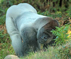 Western lowlandgorilla Bokito Blijdorp JN6A6381 (j.a.kok) Tags: gorilla westelijkelaaglandgorilla westernlowlandgorilla lowlandgorilla laaglandgorilla animal africa afrika aap ape mammal monkey mensaap primate primaat zoogdier dier blijdorp silverback zilverrug bokito