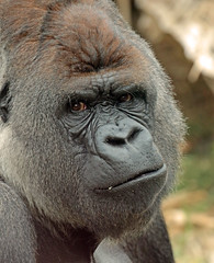 Western lowlandgorilla Bokito Blijdorp JN6A7142 (j.a.kok) Tags: gorilla westelijkelaaglandgorilla westernlowlandgorilla lowlandgorilla laaglandgorilla animal africa afrika aap ape mammal monkey mensaap primate primaat zoogdier dier blijdorp silverback zilverrug bokito