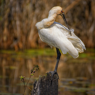 very attractive! - preening the royal plumage