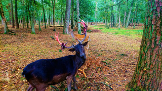 Deer With Bloody Antler