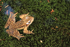Cascade Frog (Zach Hawn) Tags: wildlife mountrainier mtrainier nationalpark nps nationalparkservice wilderness outdoors animals hiking pacificnorthwest pnw wander nature naturalist citizenscience research communityscience peakingforpikas trail westernwashington washington wa piercecounty wildlifephotography flora fauna washingtonwildlife westernus