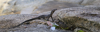Young asian water monitor hunting for mudskippers on the rocky coastline of Racha Island