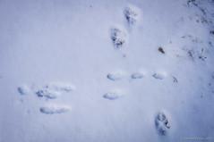 Vidas cruzadas (SantiMB.Photos) Tags: 2blog 2tumblr 2ig nieve snow peguera fígols berguedà huellas pisadas footprint footstep perro dog liebre hare geo:lat=4216659624 geo:lon=177366784 geotagged pampe cataluna españa esp