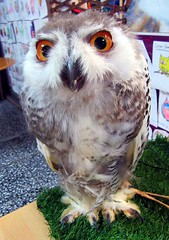 Anna,a baby snowy owl (billnbenj) Tags: barrow cumbria owl raptor birdofprey snowyowl