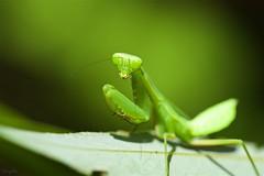 ハラビロカマキリ Giant Asian Mantis,Praying mantis (takapata) Tags: sony sel90m28g ilce7m2 macro nature insect mantis