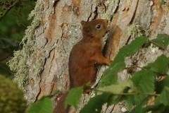 Climbing (Sundornvic) Tags: red squirrel trees fur nature animal wild feeding feeder scotland