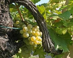 In Vienna's Vineyards (2) (Wolfgang Bazer) Tags: vineyard weinberg viticulture weinbau vine wine grapes weintrauben obersievering salmannsdorf neustift am wald zierleitengasse wien vienna österreich austria gemischter satz